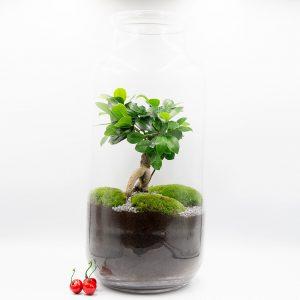 Las w słoiku fikus - Zamknięty ogród