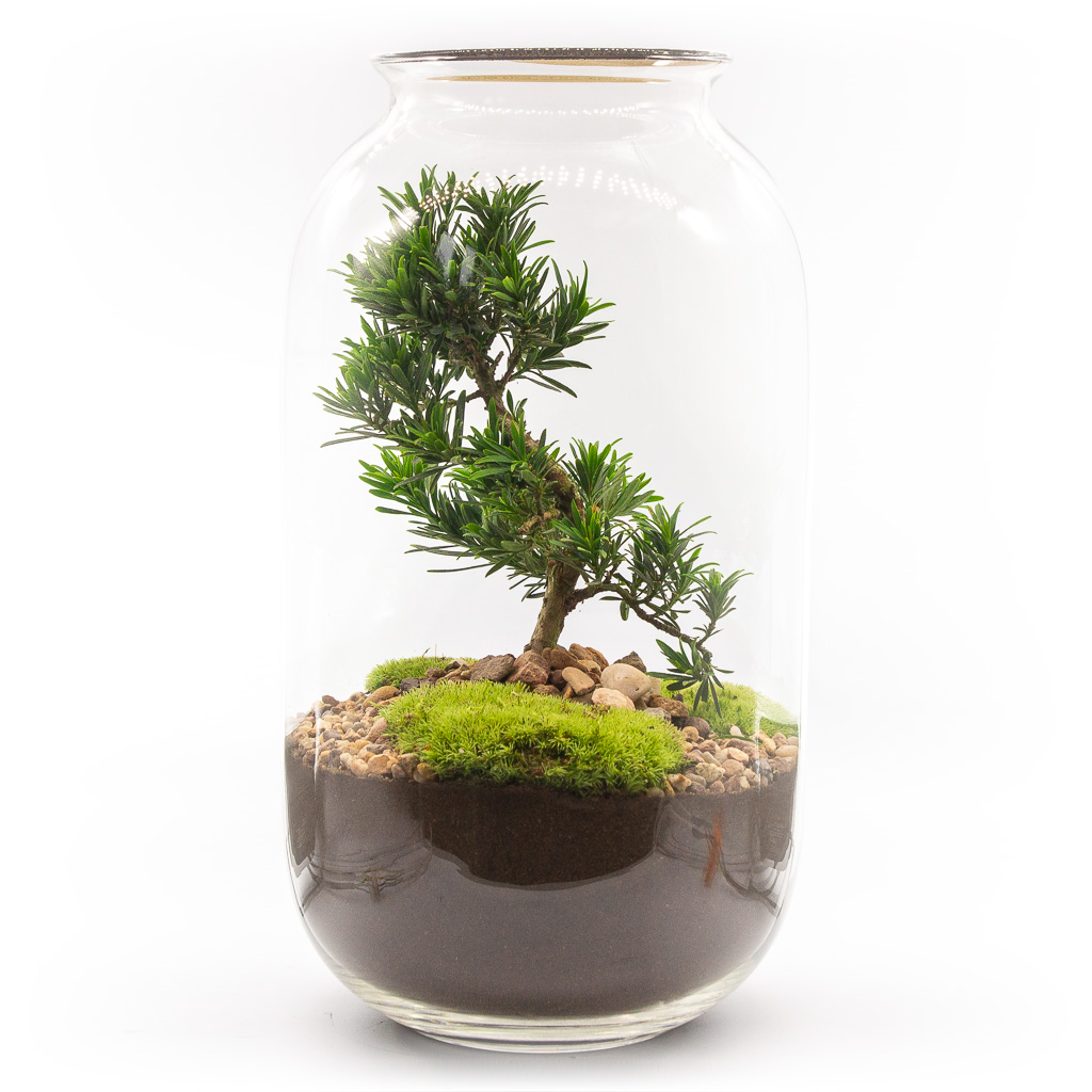 Las w sloiku XL – Podocarpus