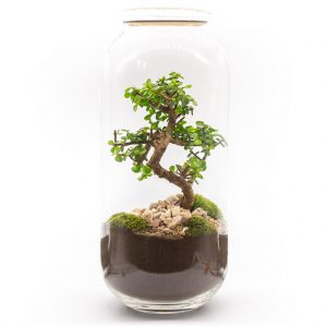 las w sloiku portulacaria uformowana 1