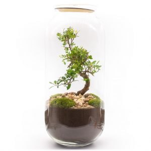 las w sloiku syzygium uformowany 1